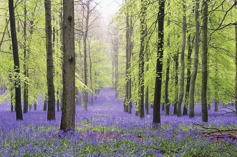 Ashridge Estate bluebell woods